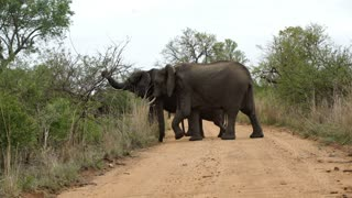 Two big elephant with calf crossing the road in Kruger National Park South Africa