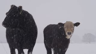two cows standing in heavy snowfall