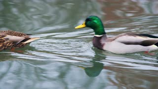 Two Ducks Swimming Along Water