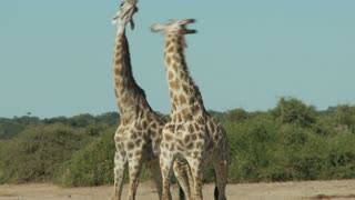 Two Giraffes Fighting