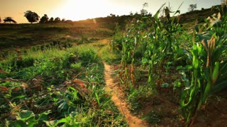 Two Kids Run Through Cornfield at Sunset in Africa