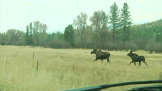 Two Large Moose Cross Jump Fence And Cross Road