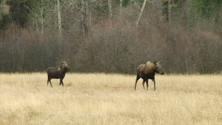 Two Large Moose Walk Through Field