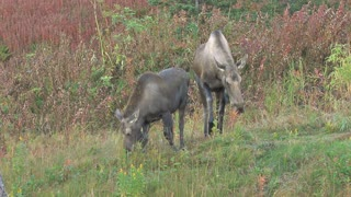 Two Moose Browsing in Autumn