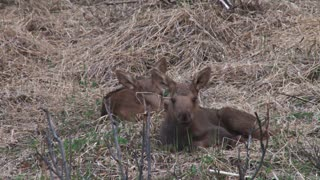 Two Moose Calves Laying Down