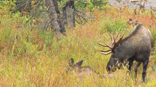 Two Moose in Meadow