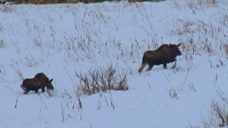 Two Moose Walking Uphill Through the Snow