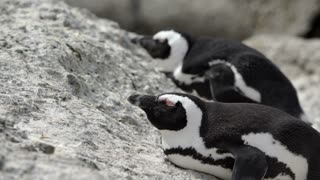 Two Penguins laying sleepy on the rocks at boulders beach in the Cape Peninsula South Africa