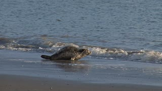 Two Rehabilitated Seals Entering Water and Back into the Wild