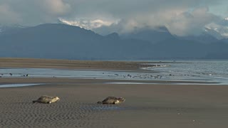 Two Rehabilitated Seals Heading Down Beach Towards the Water