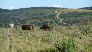 Two warthogs walking around in Addo Elephant National Park South Africa