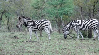 Two zebras eating grass in the bush in Kruger National Park South Africa