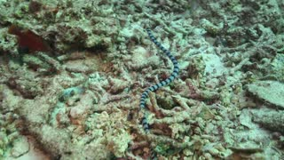 Underwater Snake On Reef