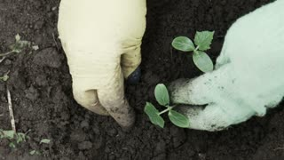 Unrecognizable person in green worker gloves planting cucumber seedling in soil