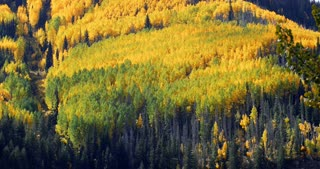 Vibrant golden forest of Aspen and pine trees in autumn with fall foliage