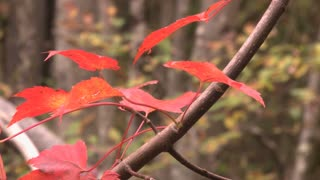 Vibrant red fall foliage leaves