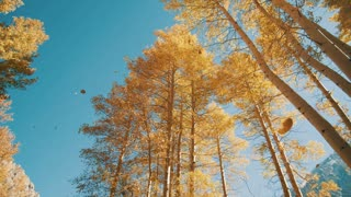 4K UHD Slow Mo Shot Looking Up at Trees with Leaves Falling With Fall Colors