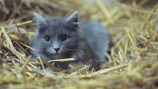 A cute gray kitten with green eyes hides in the hay, and looks right to camera. Portrait of British shorthair cat, lovely pet. Relaxing time.