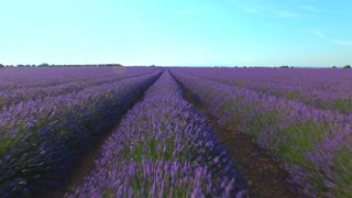 AERIAL CLOSE UP Endless rows of violet lavender set in beautiful rural France