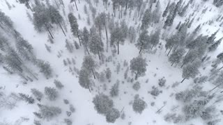 AERIAL Flying over young spruce forest covered in fresh snow on cold winter day