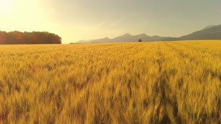 AERIAL, LENS FLARE: Golden wheat field swaying in windy mountainous countryside