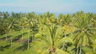 AERIAL: Lush green palm tree forest overlooking deep blue ocean on the horizon