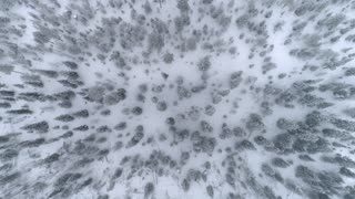 AERIAL TOP DOWN: Endless pine forest covered in fresh snow on winter day
