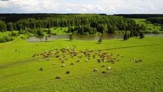 aerial view of cows on green pasture in Switzerland