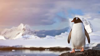 Antarctic Wildlife. Lonley penguin standing on the rock in snowfall, sunset light. Majestic winter landscape. Exploring beauty world, holidays and recreation. Travel background. Slow motion 4K footage