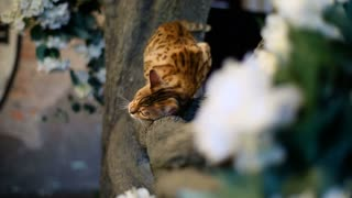 Bengal cat with green eyes climbing tree