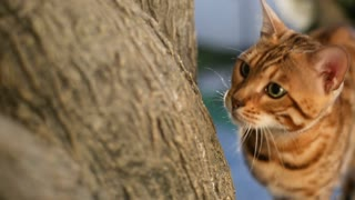 Charming Bengal cat walking on tree and became interested at something