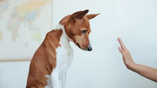 Close focus on cute concentrated basenji dog is trained by his owner to play with paws and give high five, isolated on white. Pet caring and entertainment concept