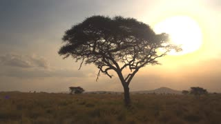 CLOSE UP: Big lush acacia tree against golden setting sun in African savannah