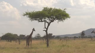 CLOSE UP: Giraffes gathering under acacia tree canopy in refreshing shade