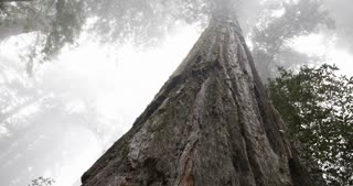 Close up shot on a slider of a large tall Redwood tree in a foggy forest