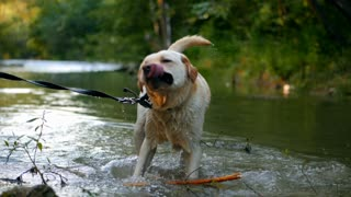 Closeup of wet dog shaking off water in slow motion. Adult labrador with cane in teeth bathes on the river and enjoys nature. Funny animal