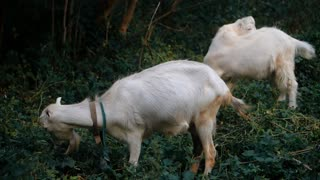 Curious happy white goats grazing in the park. Portrait of a funny goats. Farm Animals. The goats is looking at the camera. Pets symbol of the year in the Chinese calendar cyclical. Slow motion