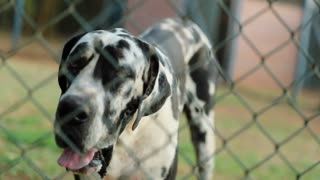 Dog Barking In Slow Motion 120 Fps Portrait Of Great Dane Dog Breed Barking