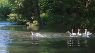 DOMESTIC DUCKS FLOATING ON THE RIVER. Beautiful ducks is spreading its wings to fly on the lake, Beautiful Scenery Duck Taking Off on a Natural Lake in Slow Motion Video Clip