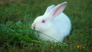 Easter adorable white bunny outdoor on green background eating grass and carrot. Slow motion