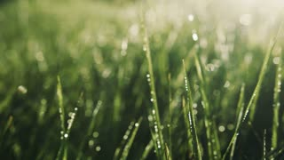 Extreme close up view of morning dew on bright sunlight. Sunrise, drops of dew. Tranquil, relaxed atmosphere. Landscape, camera stabilizer shot, slow motion