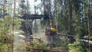 Forestry equipment making deforestation coniferous forest. Logging industry