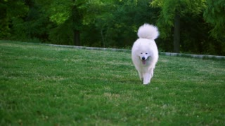 Funny white Samoyed husky dog in the park. Laika dog breed walking in summer day. Greenery background. SLOW MOTION