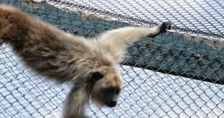 Little Monkey Holds Himself On Fences Monkey Locked Inside Cage