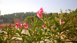 Nerium oleander shrub close-up. Gentle pink dogbane family flower in Barcelona Park Guell. Slow motion, dolly shot