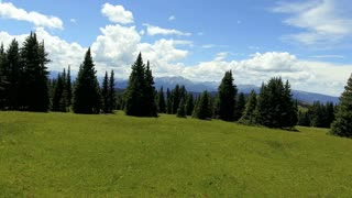 Over a field and through pine trees in summer