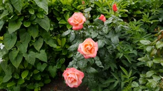 peach colored roses moving in the breeze with heavy greenery behind them
