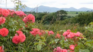 Pink roses in the foreground with Mountains of Mourne in the background