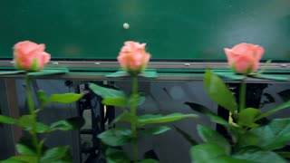 Roses passing an automatic sorting conveyor.