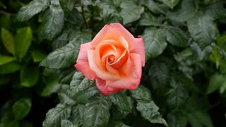 Single peach colored rose in the breeze with greenery